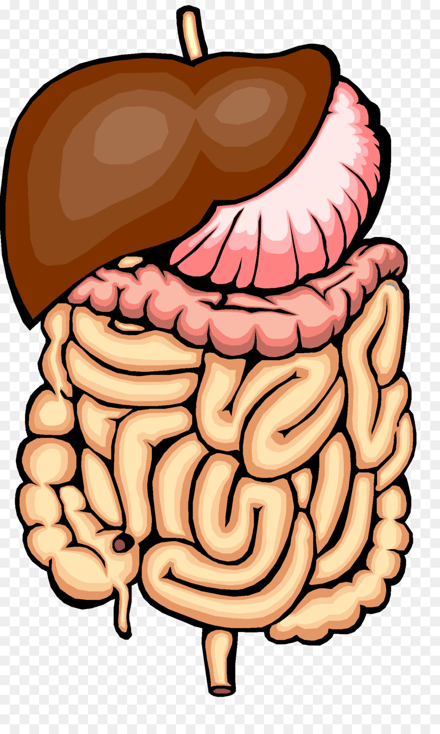 Digestion Physical Change Human Digestive System Chemical Change