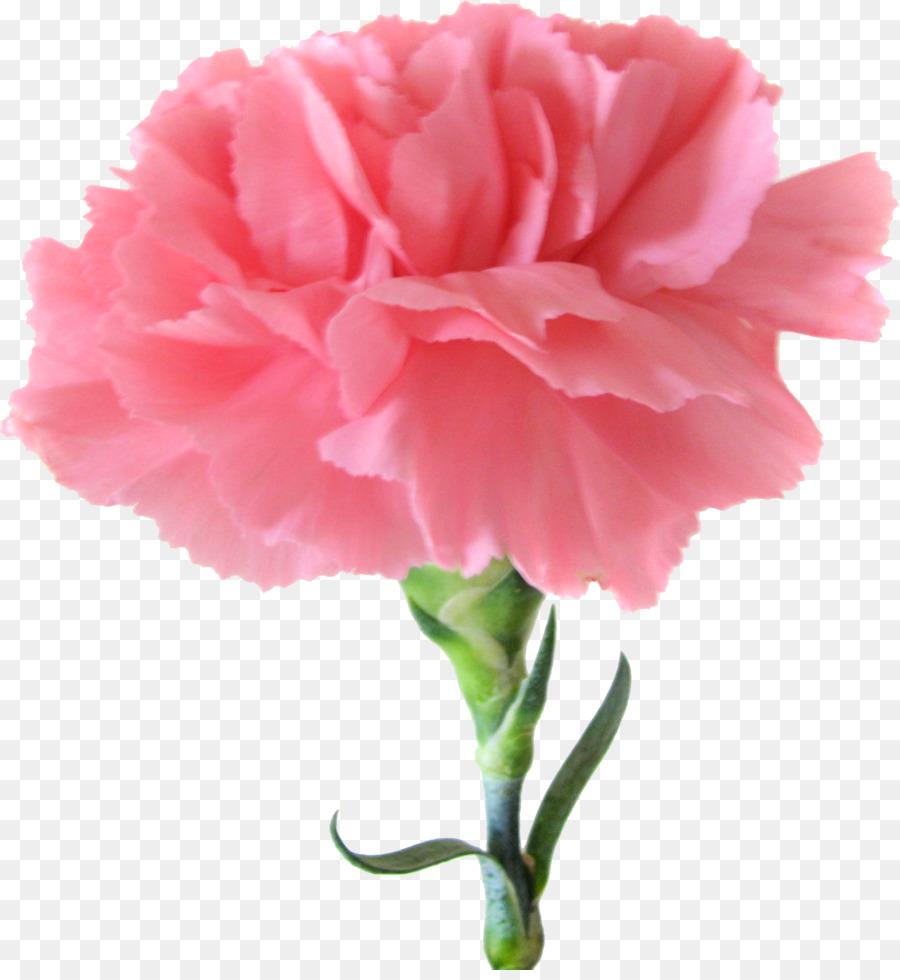 Lieblings Nelke Rosa Blumen Geburt Blume - Nelke png herunterladen - 1738 &BP_74