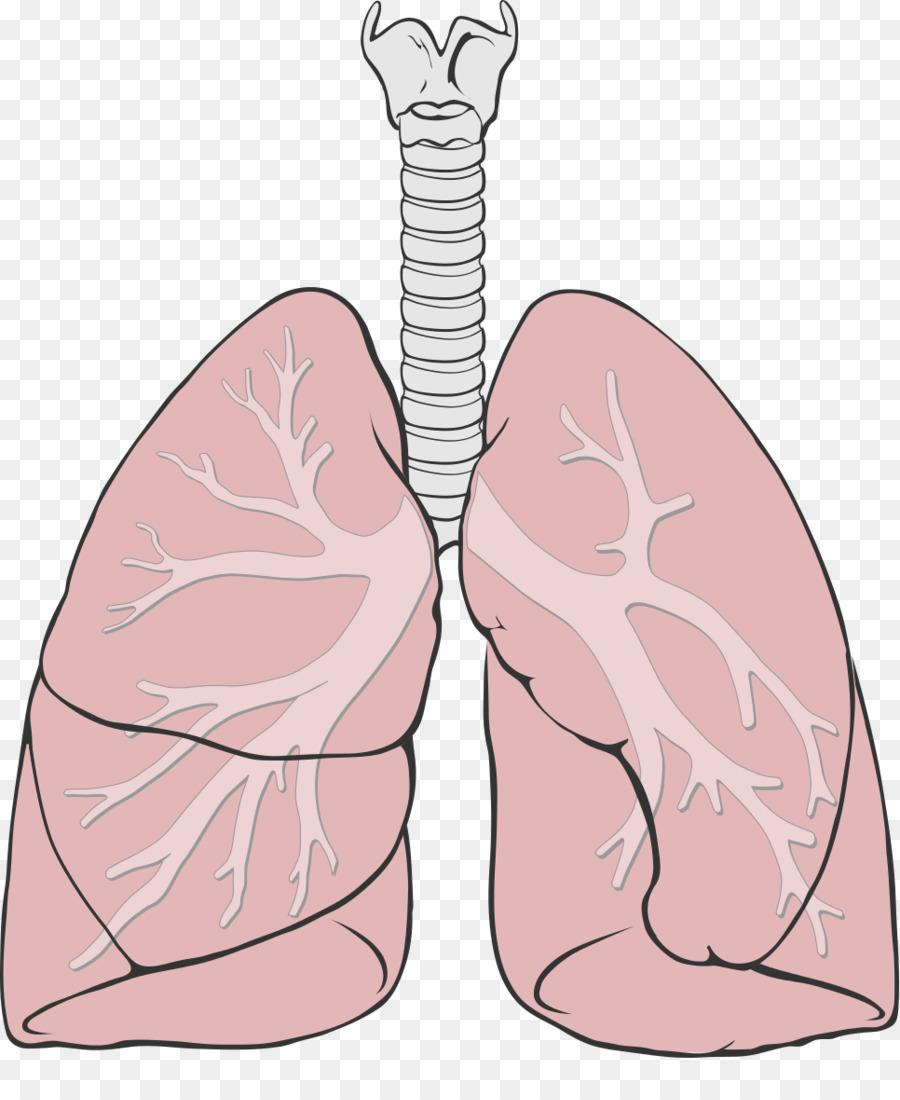 Pulmón Diagrama de la Anatomía del sistema Respiratorio Bronquial ...