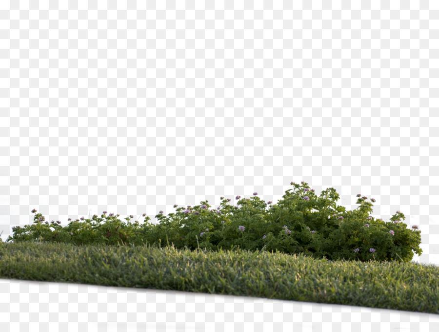 Shrub Plant png download - 1600*1198 - Free Transparent Shrub png