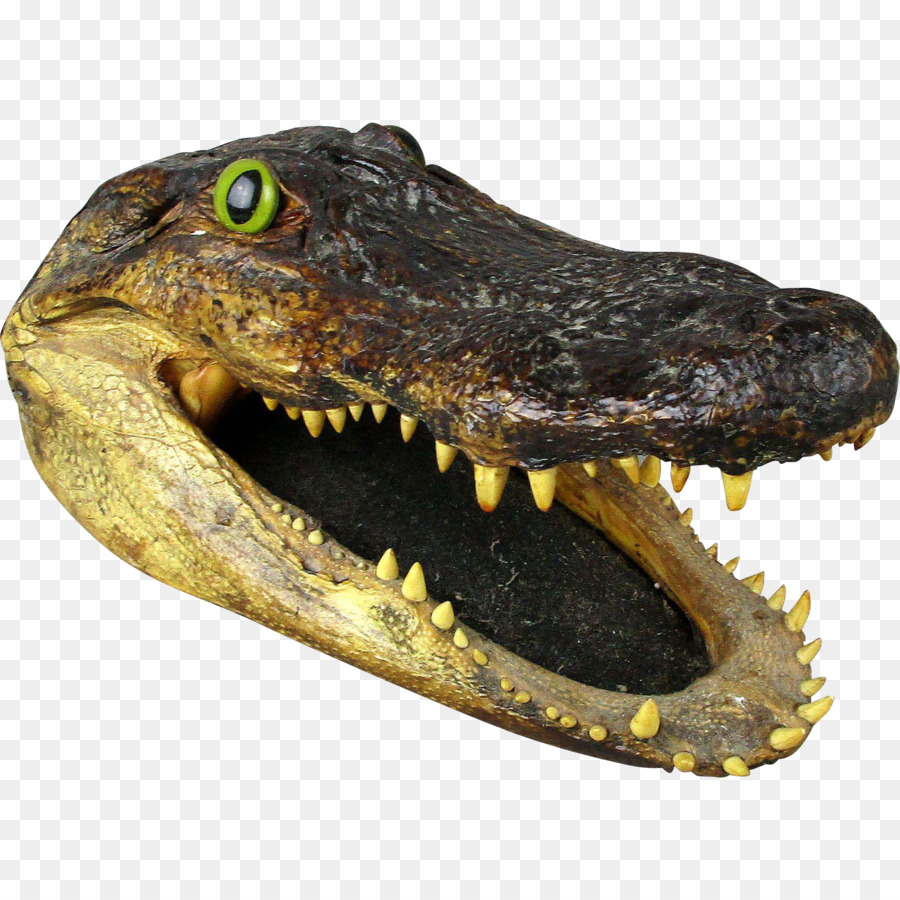 Crocodiles American alligator Nile crocodile Florida - alligator png ...