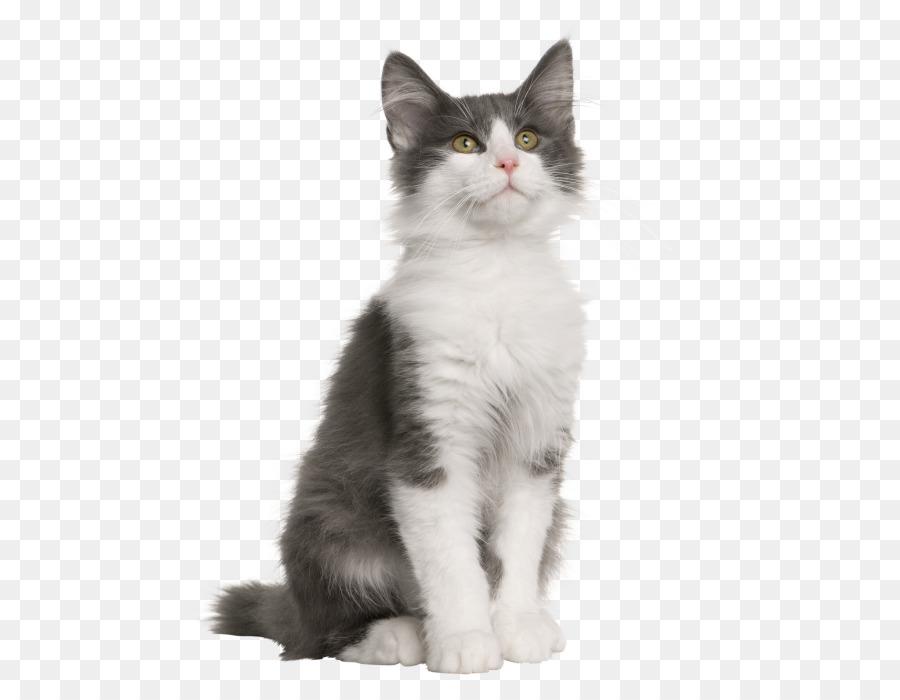 5e04f4ee05 Norwegian Forest cat Kitten Siberian cat Turkish Van Veterinarian - gray  png download - 593 684 - Free Transparent Norwegian Forest Cat png Download.