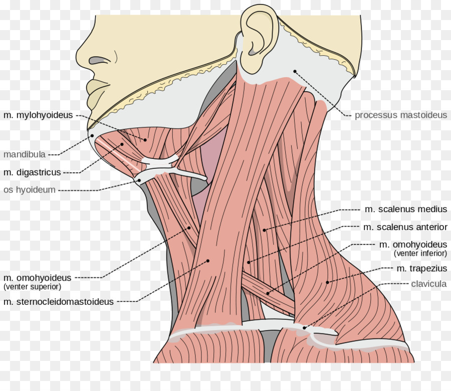 Posterior triangle of the neck Anterior triangle of the neck ...