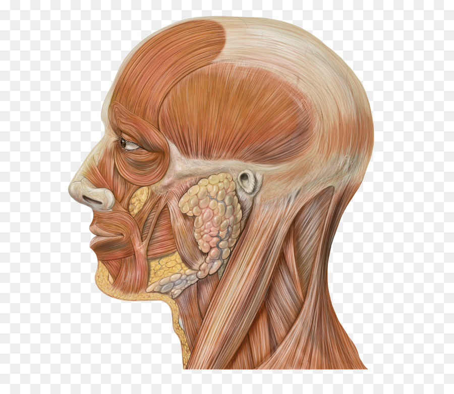 Head and neck anatomy Human head Face - muscles png download - 650 ...