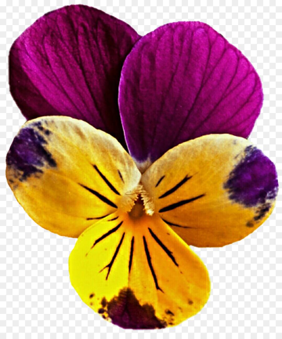 Pansy Flower Mauve Viola Pedunculata Clip Art Flower Yellow Png