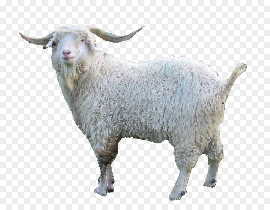 Oberhasli Goat Nigerian Dwarf Fainting Damascus Angora