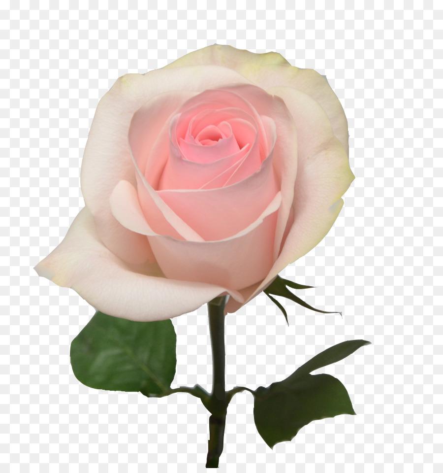 Light Pink Garden Roses Cut Flowers Pink Light Png Download 850