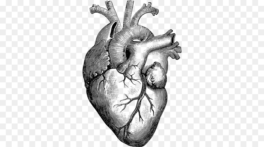 Anatomy Heart Drawing Diagram - human heart png download - 500*500 ...
