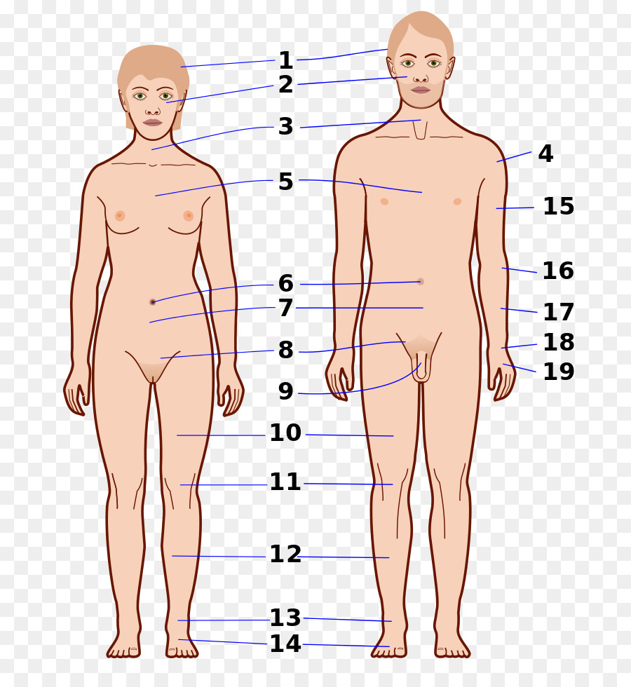 Cuerpo humano Ombligo Wikcionario Traducción Abdomen - cuerpo humano ...