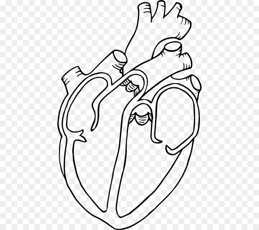 diagram heart drawing anatomy clip art