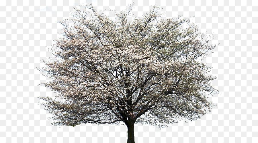 Flowering Dogwood Kousa Dogwood Tree Cornus Alternifolia