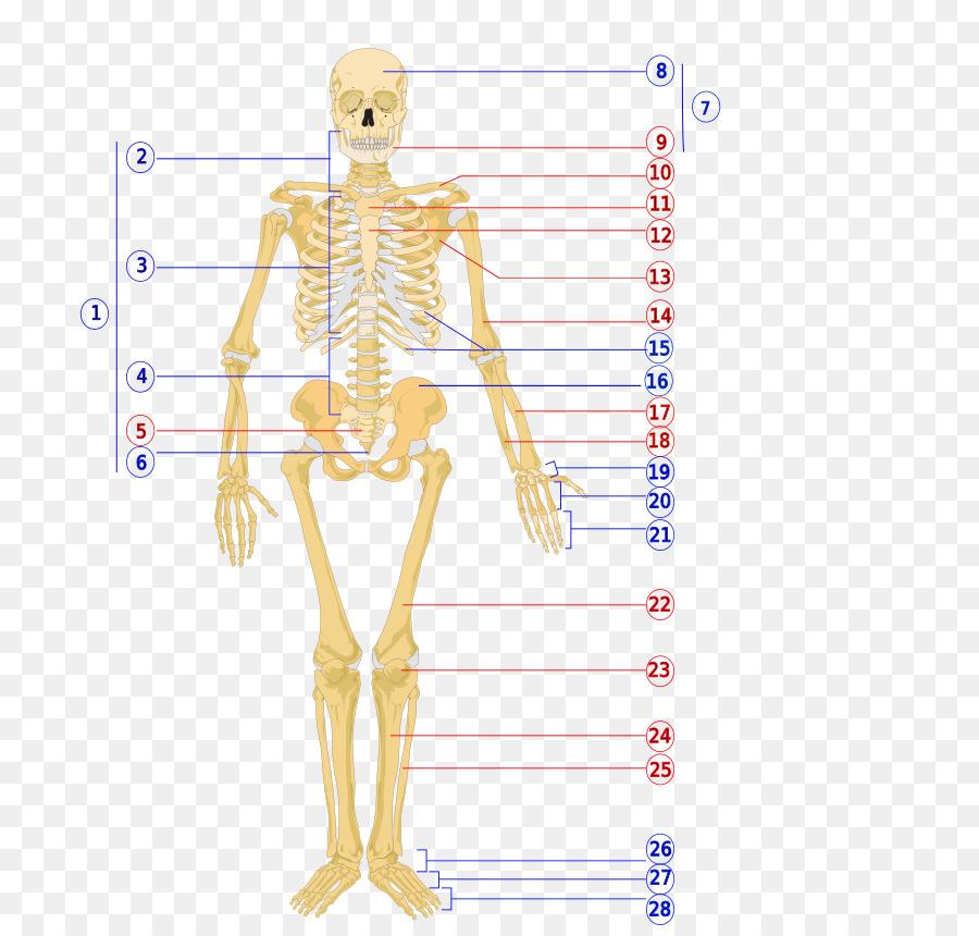 El esqueleto humano cuerpo Humano esqueleto Axial - los huesos ...