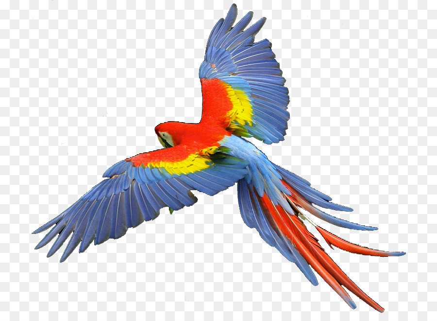 parrot scarlet macaw hyacinth macaw clip art parrots png download rh kisspng com scarlet macaw clipart macaw clip art free