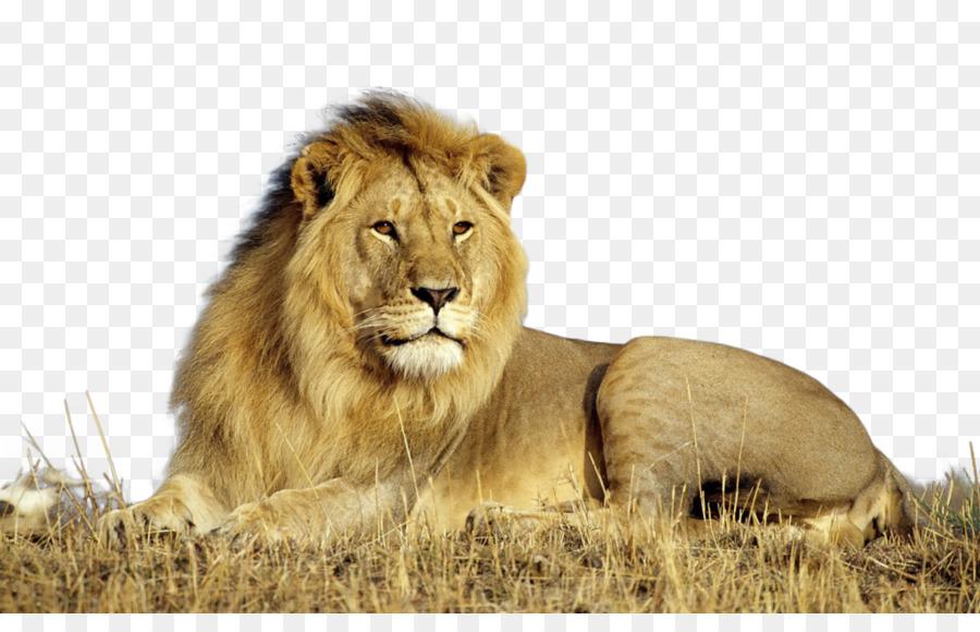 Lion Masai Lion Png Download 1024 640 Free Transparent Lion Png