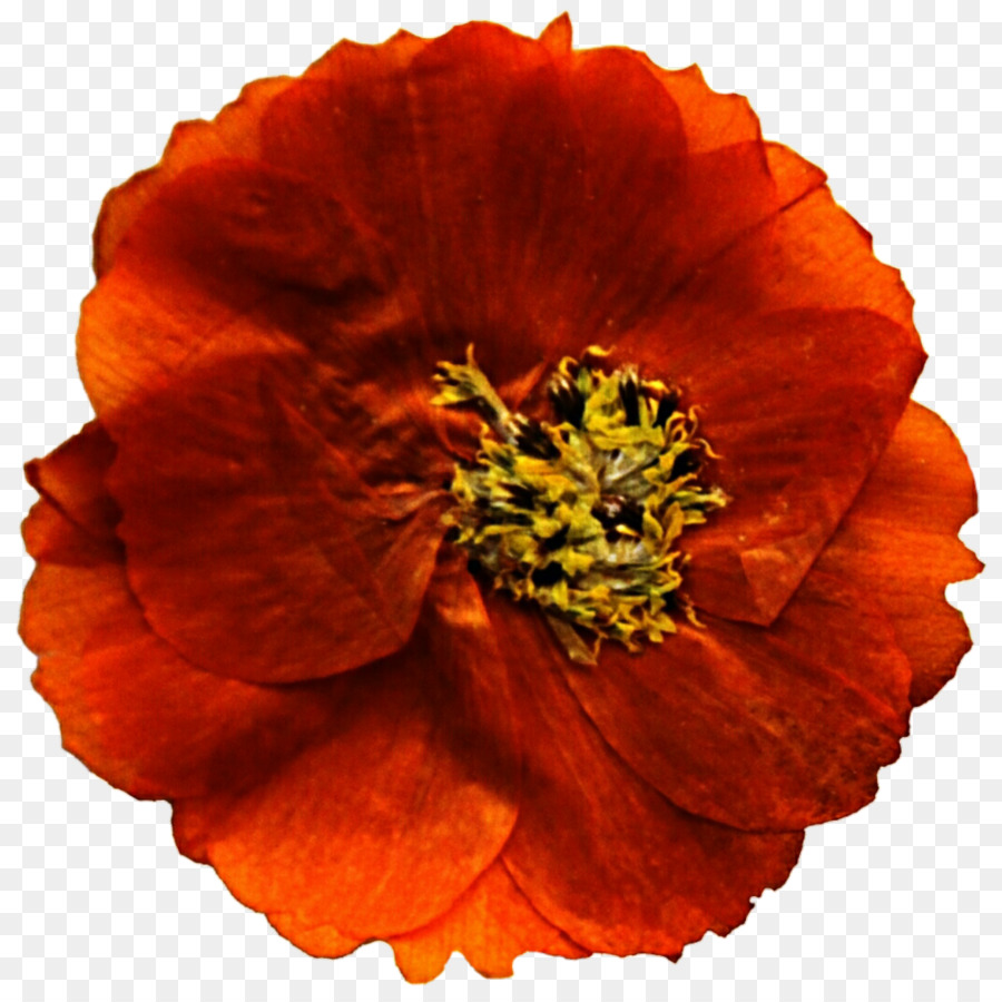 Mexican Marigold Flower Poppy Annual Plant Clip Art Marigold Png