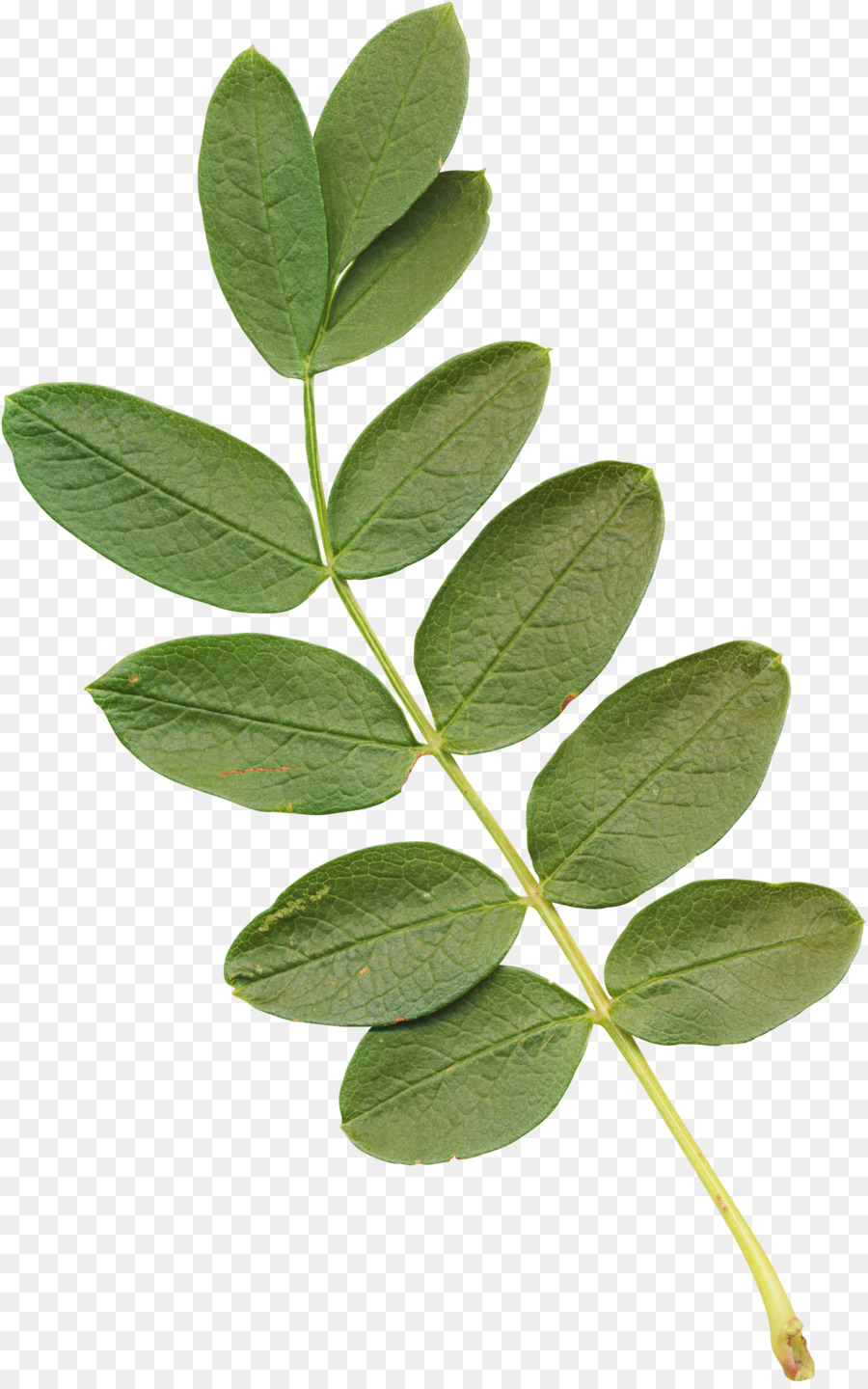 Leaf Plant Stem Acacia Eucalyptus Leaves Png Download 16342604