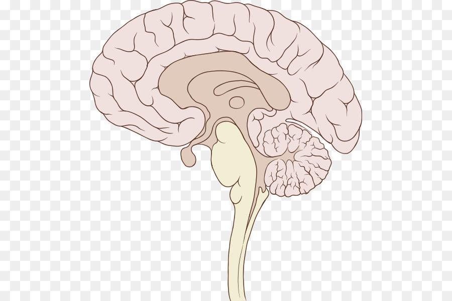 Human Brain Sagittal Plane Brainstem Anatomy Brain Png Download
