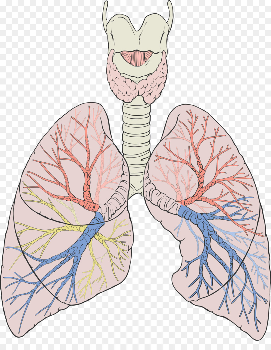 Lung Gas exchange Anatomy Respiratory system Breathing - lungs png ...