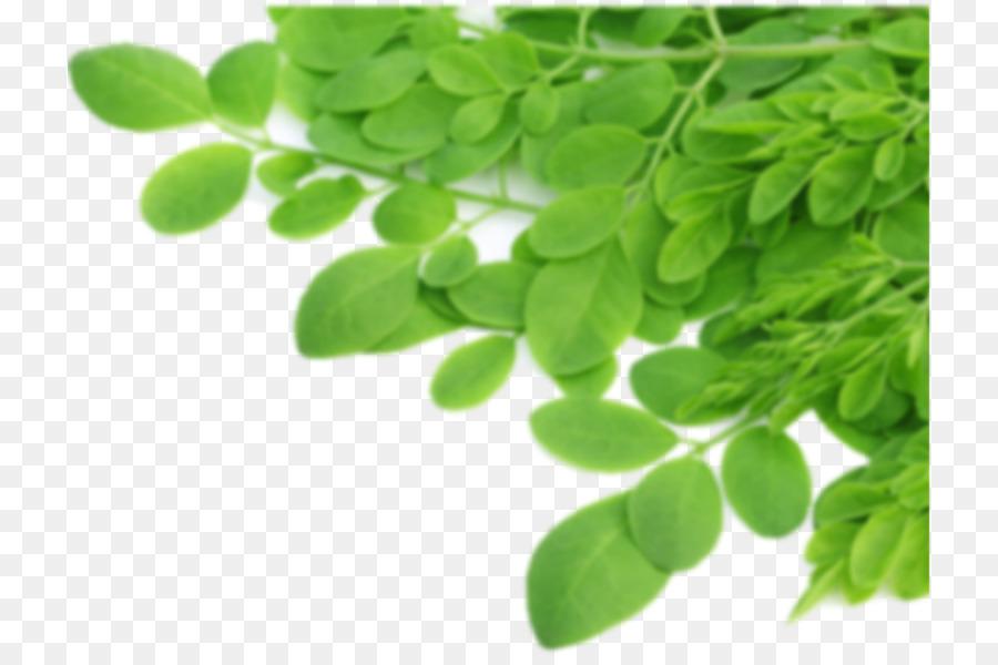 Green Coffee Extract Drumstick Tree Nutrient Food Tea