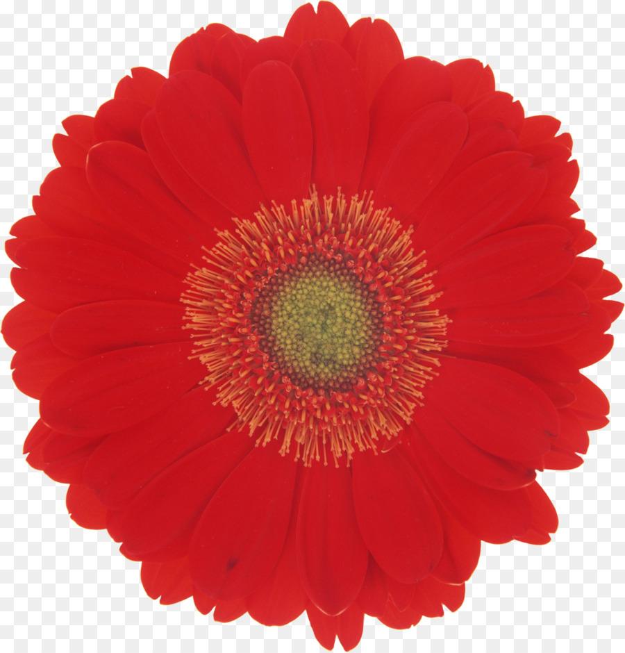 flower stock photography desktop wallpaper - gerbera png download