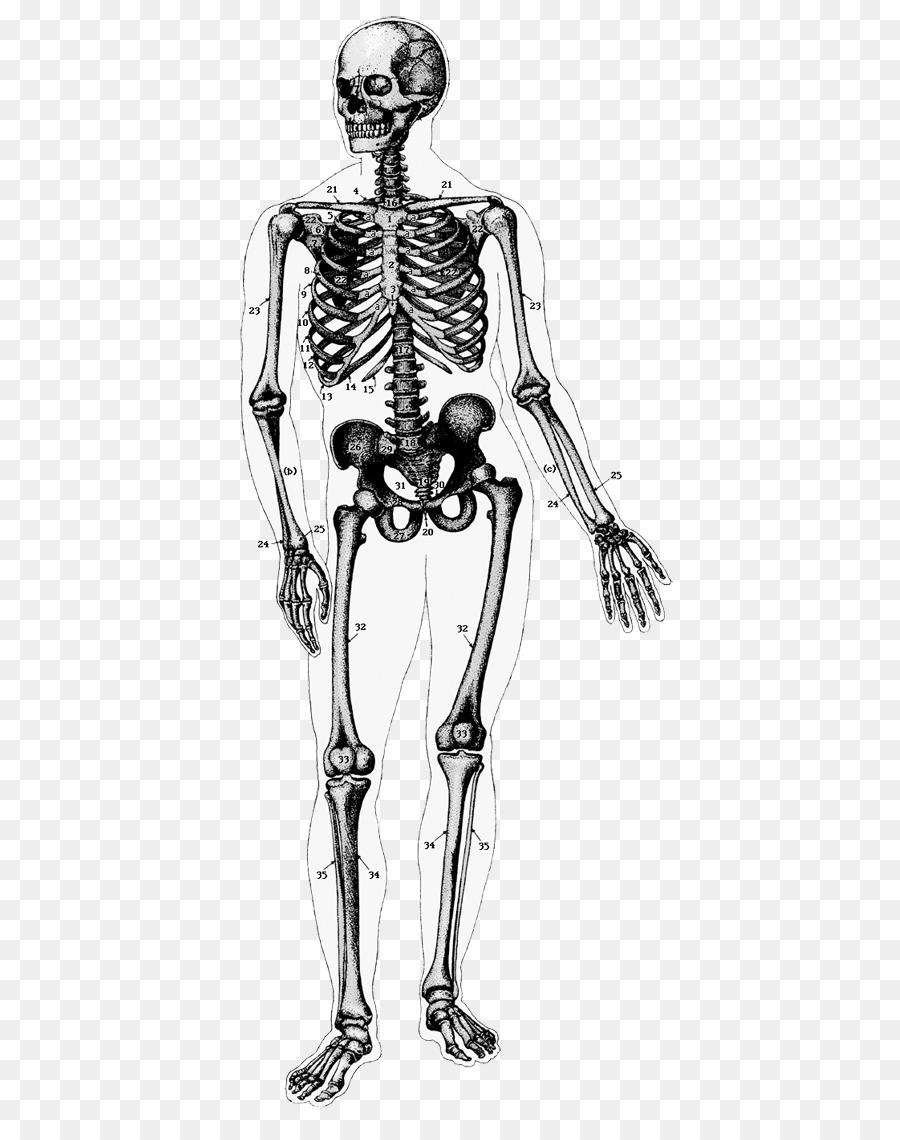 El esqueleto humano cuerpo Humano Anatomía - Esqueleto Formatos De ...