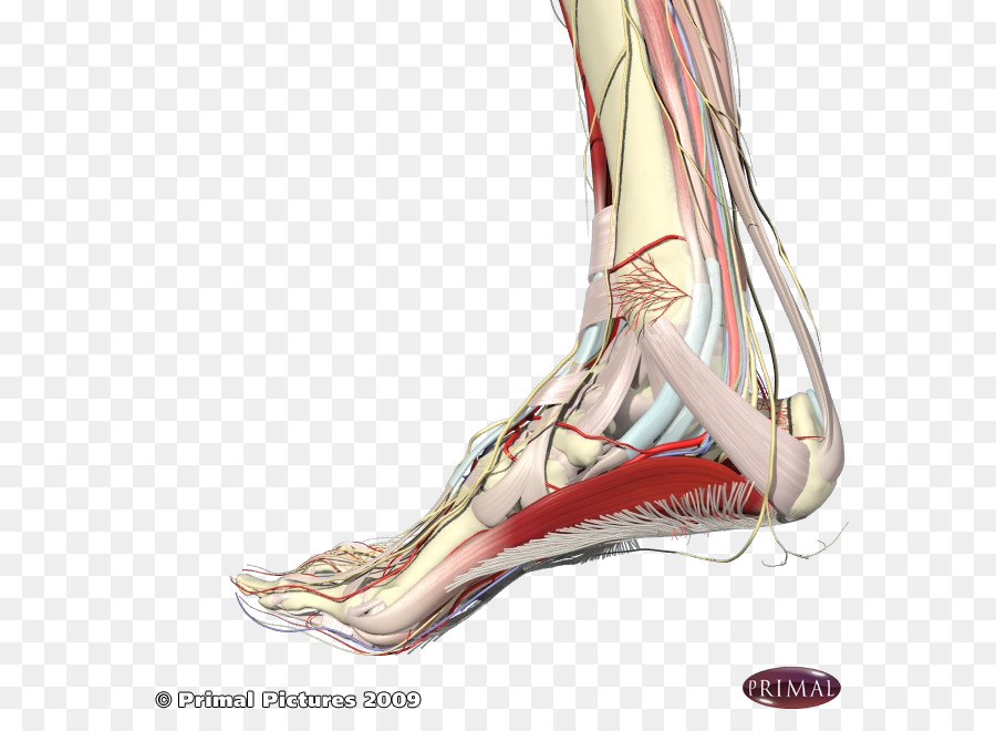Plantar Fasciitis Foot Plantar Fascia Sole Achilles Tendon Feet