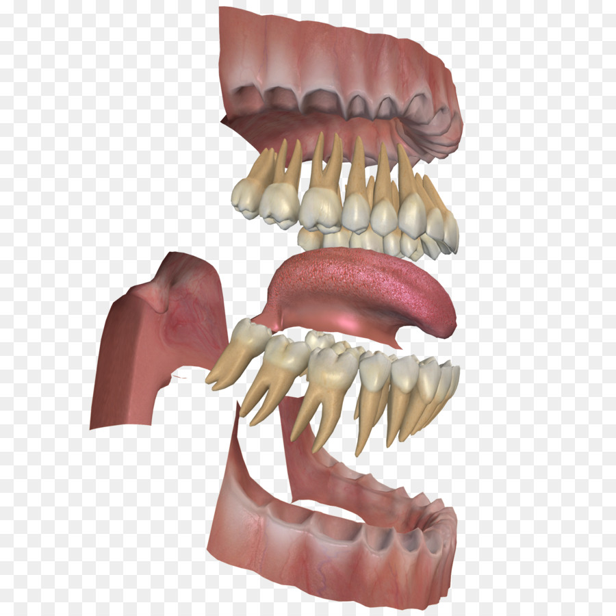 Human tooth Gums Dental anatomy Jaw - teeth png download - 2048*2048 ...