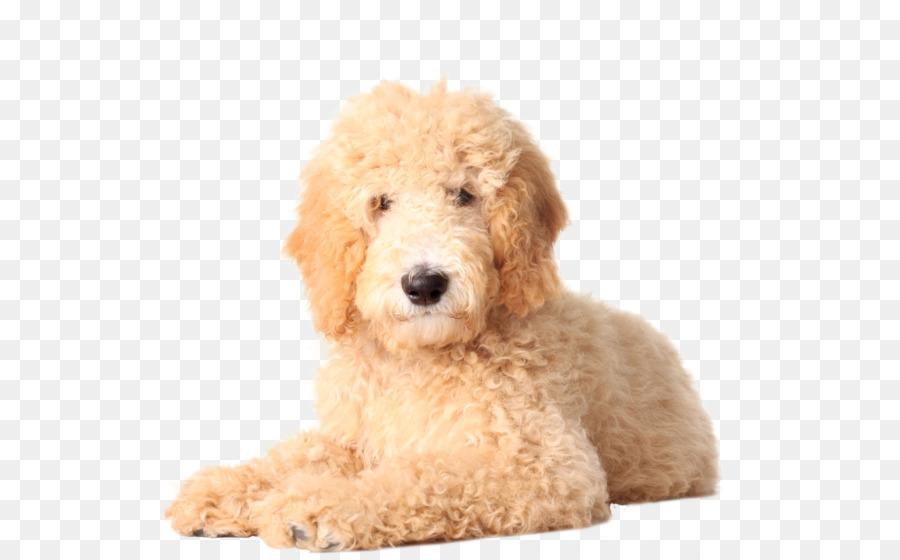 Goldendoodle Golden Retriever Labradoodle Poodle Puppy Doodles Png