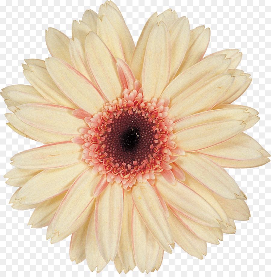 Daisy Family Chrysanthemum Argyranthemum Frutescens Cut Flowers