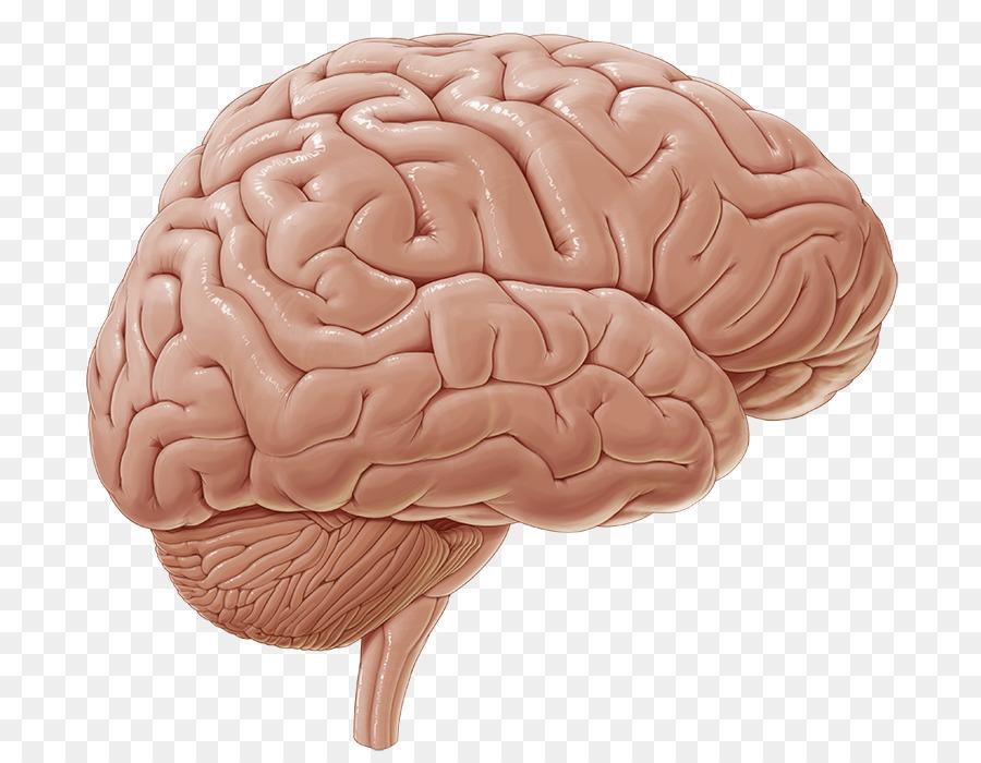 Intraparietal Sulcus Inferior Frontal Gyrus Central Sulcus Brain