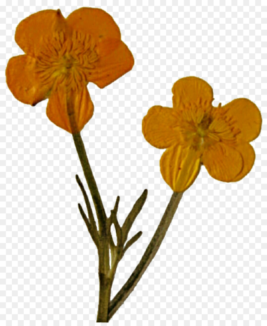 Pressed Flower Craft Poppy Cut Flowers Wildflower Wild Flowers Png