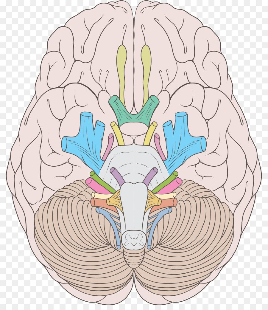 Cranial nerves Abducens nerve Trochlear nerve Vestibulocochlear ...