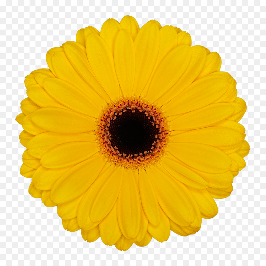 Flower Common Daisy Party Yellow Color Gerbera Png Download 1024