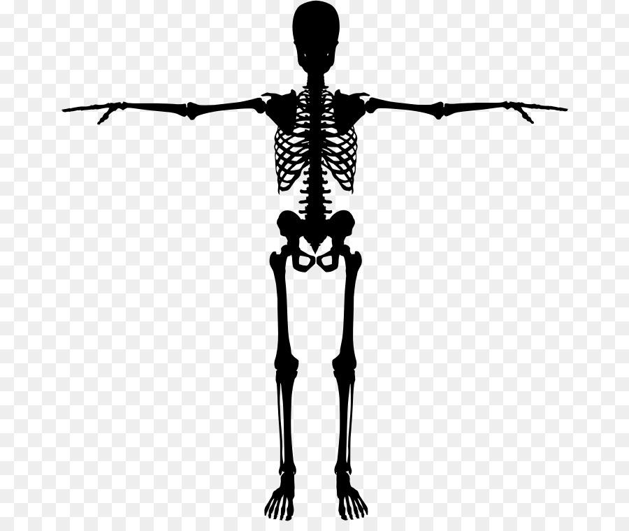 Human skeleton Bone Silhouette - Skeleton png download - 726*746 ...
