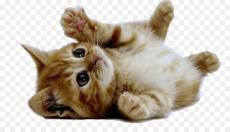 Cute Kitten American Shorthair Cuteness Puppy