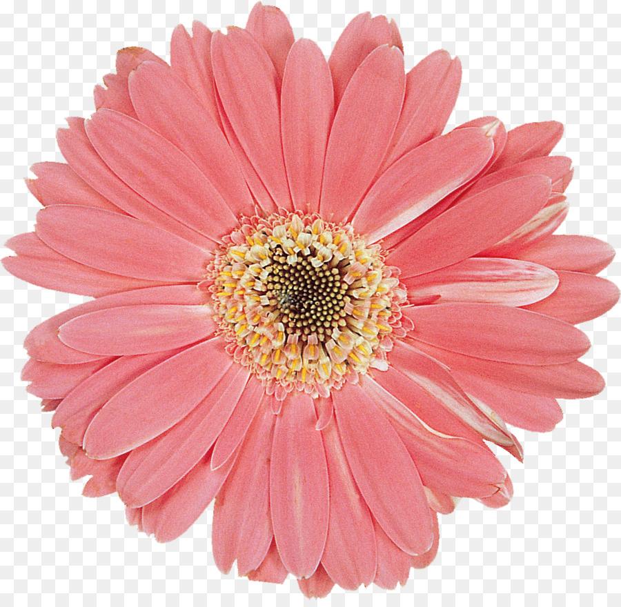 Transvaal daisy cut flowers daisy family flower bouquet gerbera transvaal daisy cut flowers daisy family flower bouquet gerbera izmirmasajfo