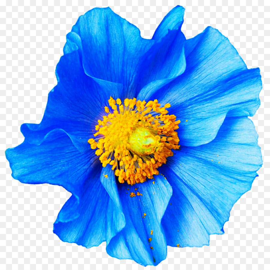 Poppy Flower Blue Papaver Nudicaule Petal Anemone Png Download