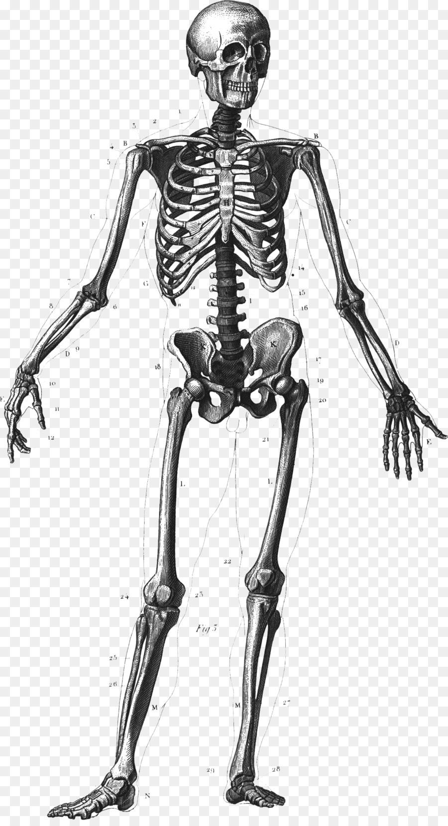 Esqueleto humano cuerpo Humano Anatomía Ósea - Esqueleto Formatos De ...