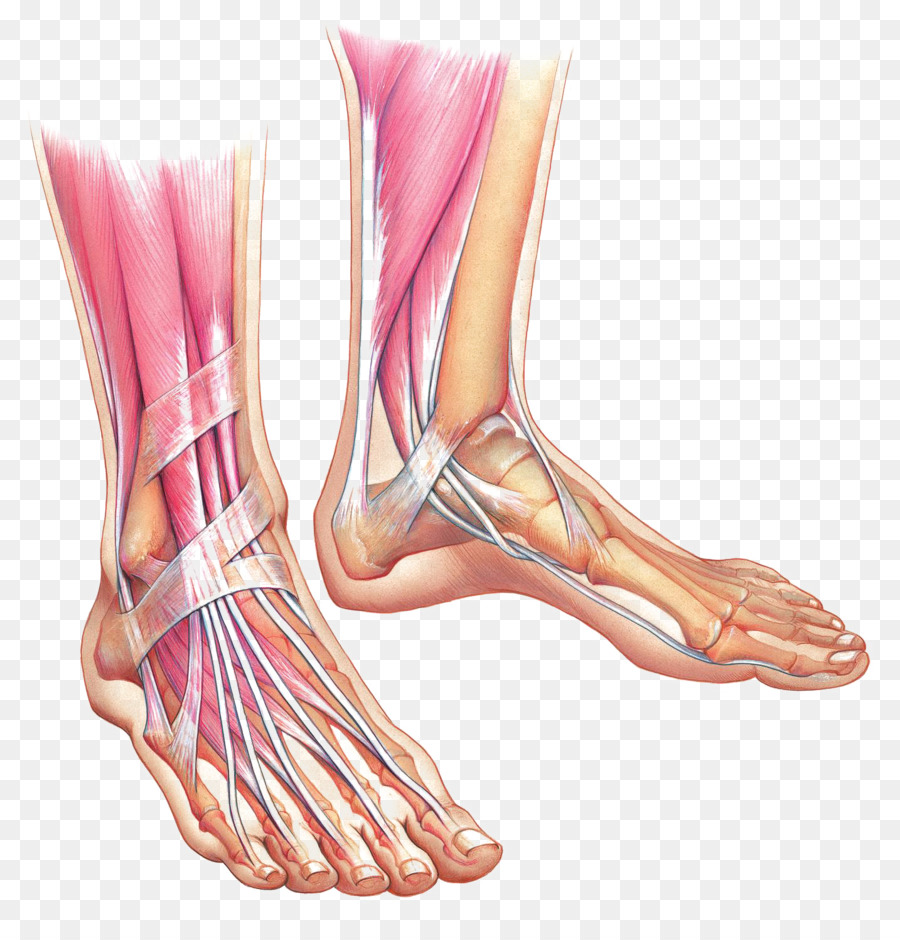 Foot Anatomy Muscle Ankle Bone - foot png download - 1434*1484 ...