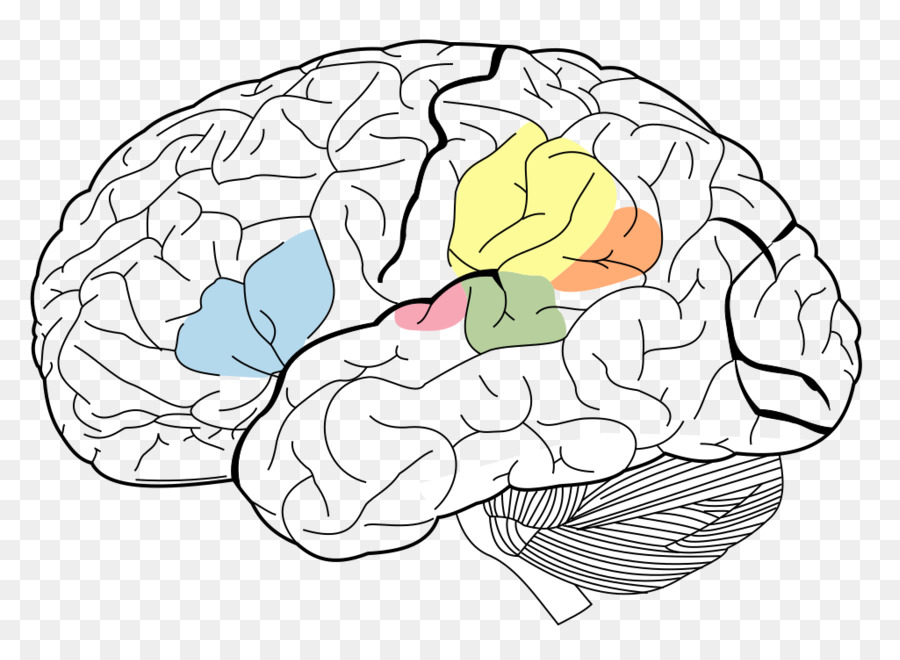 Brain Broca\'s area Wernicke\'s area Angular gyrus Cerebral cortex ...