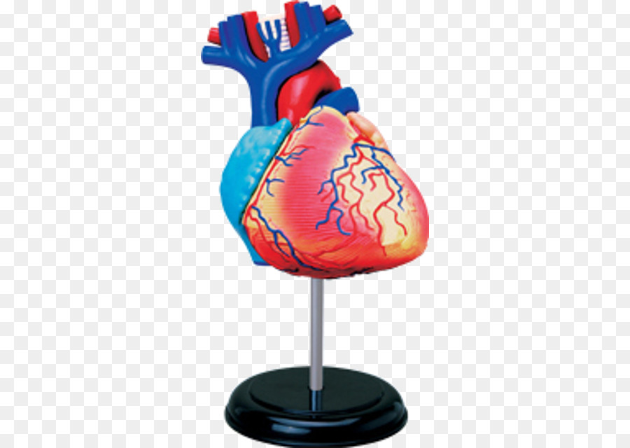 Human Anatomy Human Body Heart Human Skeleton Human Heart Png