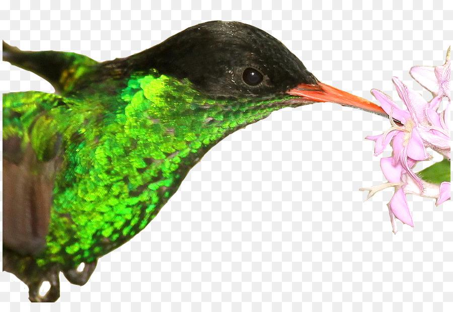 Hummingbird Jamaica Red Billed Streamertail National Symbol Macaw