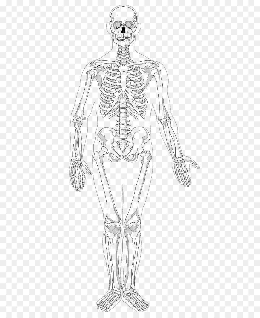 Human Skeleton Appendicular Skeleton The Skeletal System Clip Art