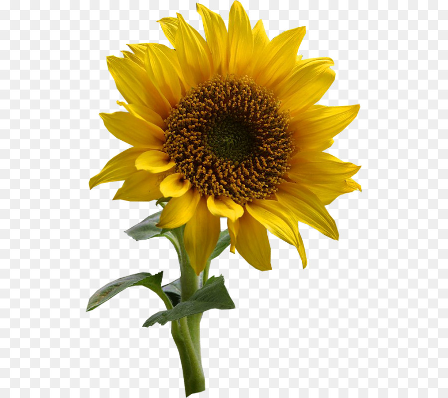 Common Sunflower Drawing Clip Art