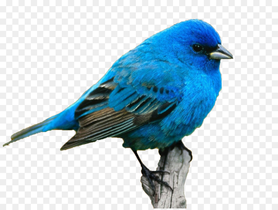 Name Color Meaning Personality Idea Blue Bird Png Download 1600