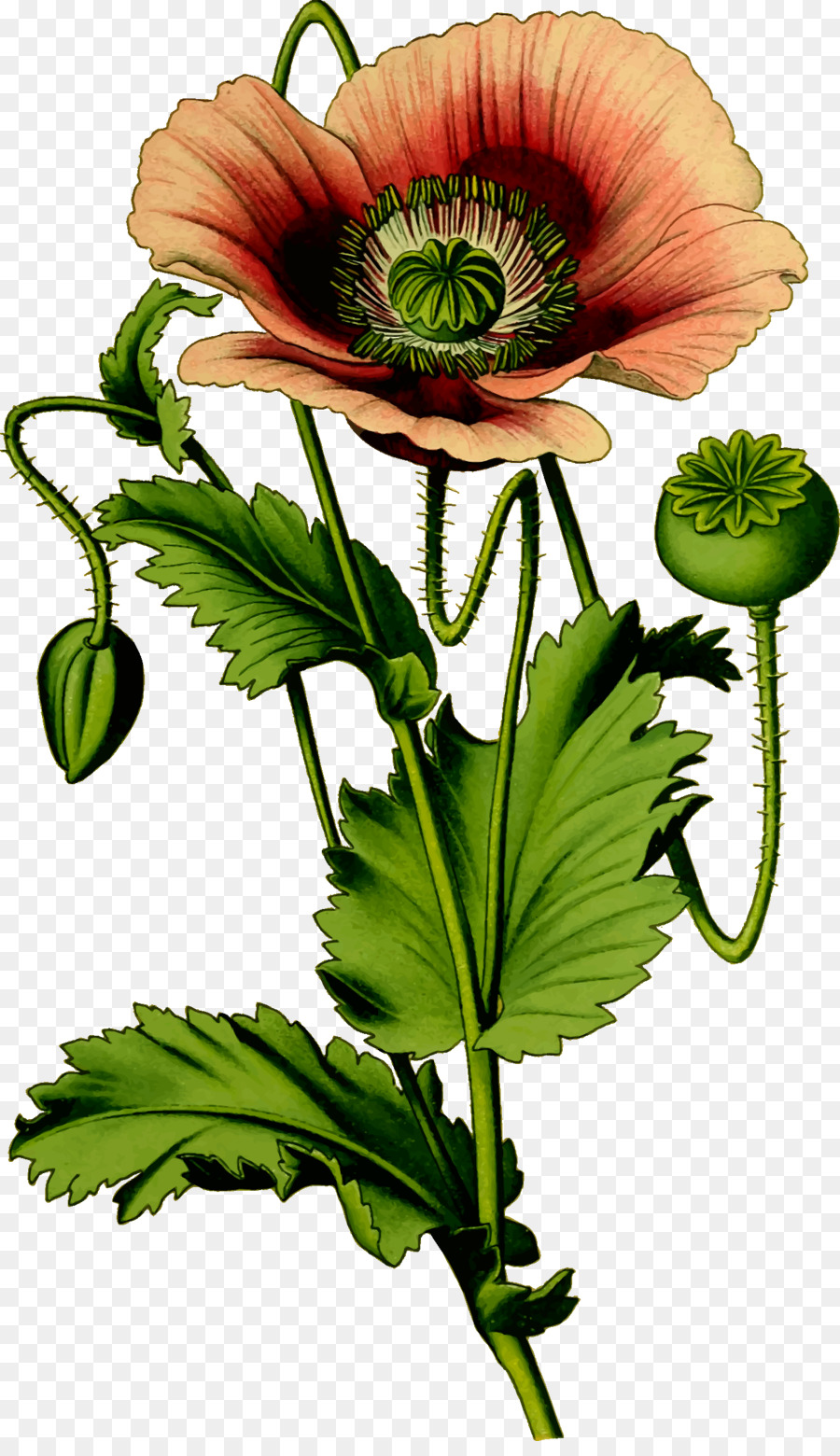 Opium Poppy Plant Common Poppy Poppy Png Download 13992400