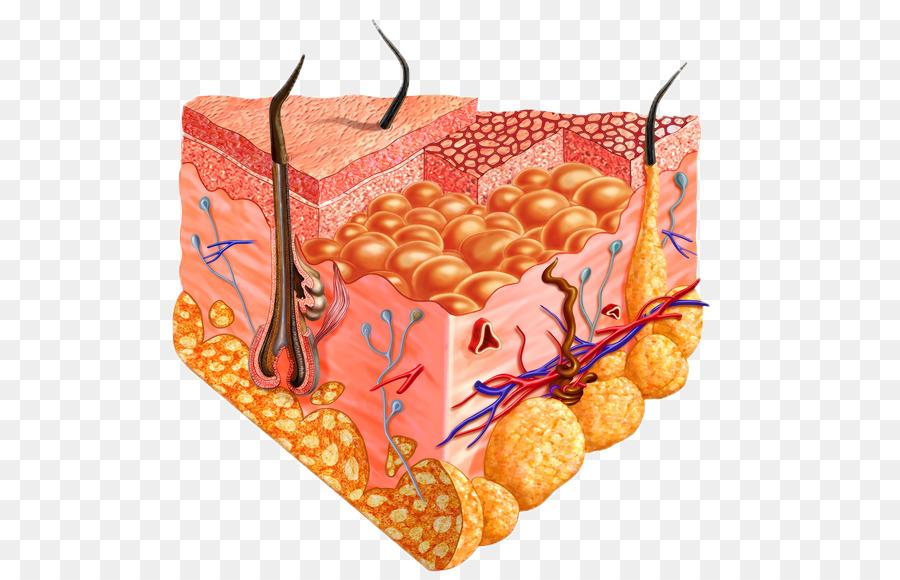 Human skin Cell Homo sapiens Human body - anatomy png download - 599 ...