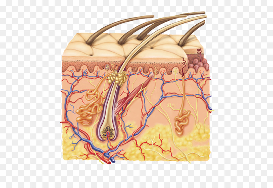 Subcutaneous tissue Human skin Integumentary system Dermis - organs ...