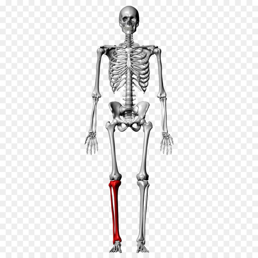 Bone Fibula Human skeleton Tibia Femur - anatomy png download - 1024 ...