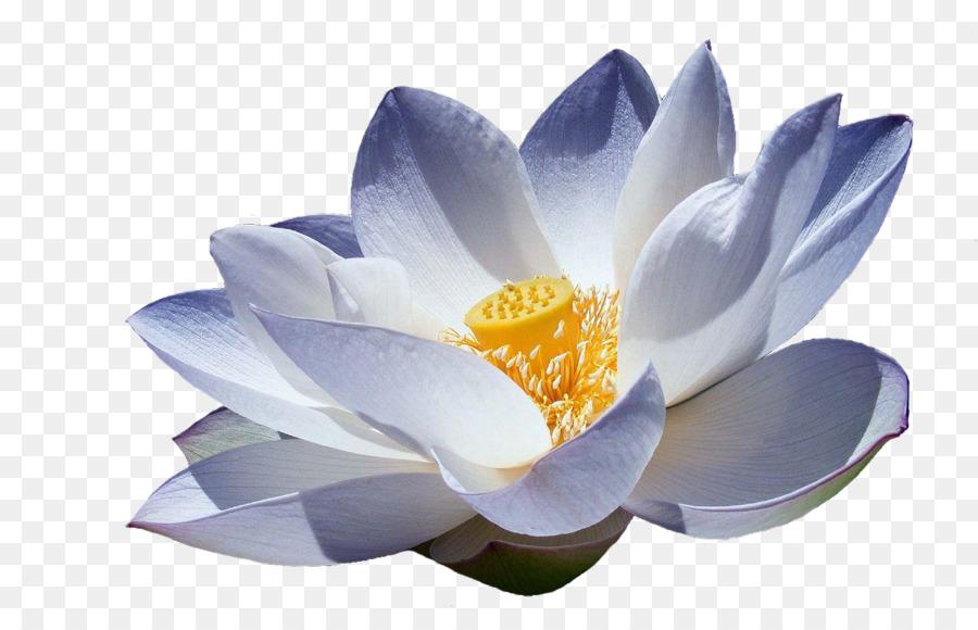 Nelumbo Nucifera Lotus Dw Terapias Manuais Symbol Meaning Lotus